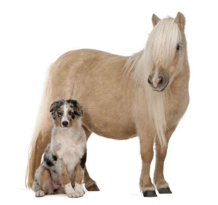 australian shepherd: Palomino Shetland pony, Equus caballus, 3 years old, and Australian Shepherd puppy, 4 months old, in front of white background