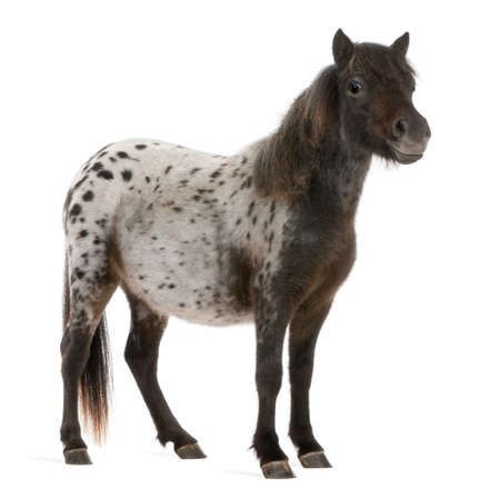 appaloosa: Appaloosa Miniature horse, Equus caballus, 2 years old, standing in front of white background Stock Photo