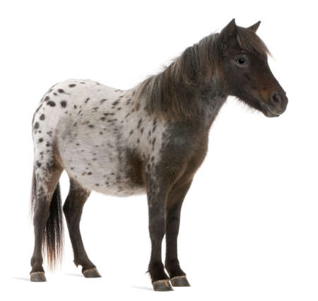 miniature people: Appaloosa Miniature horse, Equus caballus, 2 years old, standing in front of white background Stock Photo