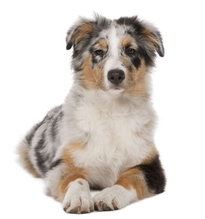 Australian Shepherd puppy, 5 months old, lying in front of white background photo