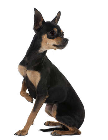 Prague Ratter   2 years old, sitting in front of white background photo