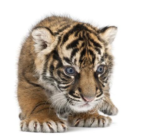 sumatran tiger: Cucciolo di tigre di Sumatra, Panthera tigris sumatrae, 3 settimane, davanti a sfondo bianco