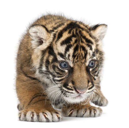 Sumatran Tiger cub, Panthera tigris sumatrae, 3 weeks old, in front of white background Stock Photo - 8210647