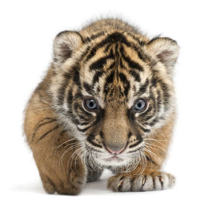 Cachorro de tigre de Sumatra, Panthera tigris sumatrae, 3 semanas de edad, en frente de fondo blanco