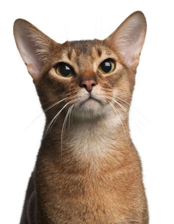 abyssinian cat: Abyssinian Cat, 1 year old, in front of white background
