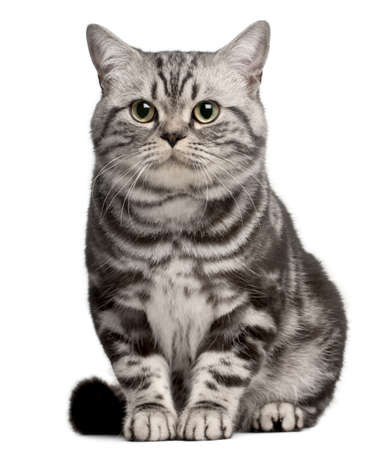 kotów: Brazilian Shorthair cat, 1 year old, sitting in front of white background