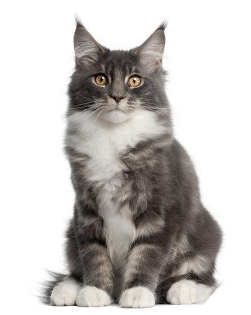 maine coon: Maine Coon chaton, 5 mois, assis devant fond blanc