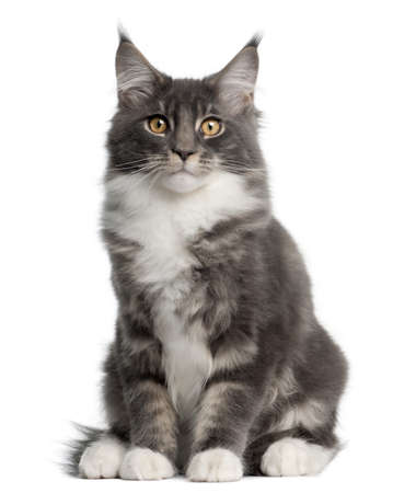 Maine Coon Kitten, 5 months old, sitting in front of white background photo