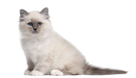 birman kitten: Birman kitten, 10 weeks old, sitting in front of white background