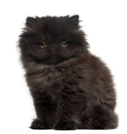 Persian Kitten, 10 weeks old, sitting in front of white background photo