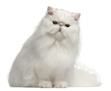 persian cat: Persian cat, 8 months old, sitting in front of white background