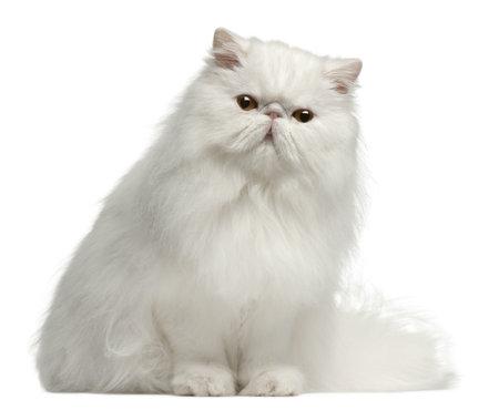 Persian cat, 8 mesi di età, seduto davanti a sfondo bianco