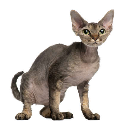 Devon Rex cat, 2 years old, sitting in front of white background photo