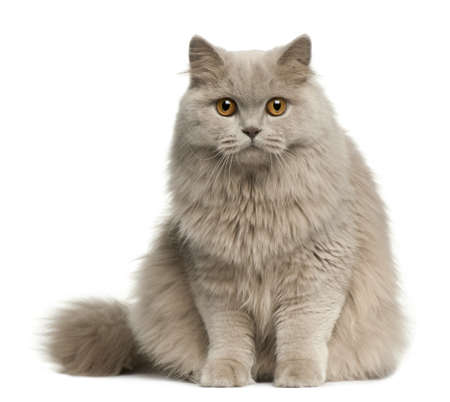 longhair: British longhair cat, 8 months old, sitting in front of white background