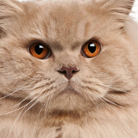 no face: Close-up of British longhair cat, 15 months old