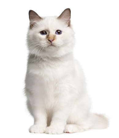 birman kitten: Birman kitten, 4 months old, sitting in front of white background