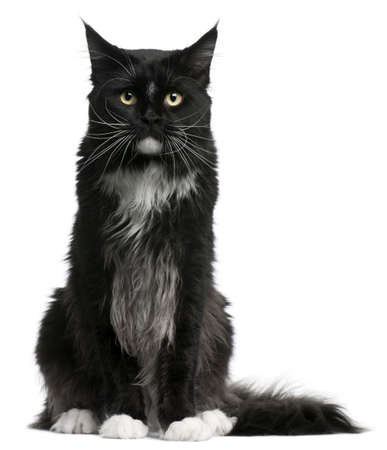 maine cat: Maine Coon cat, 15 months old, sitting in front of white background