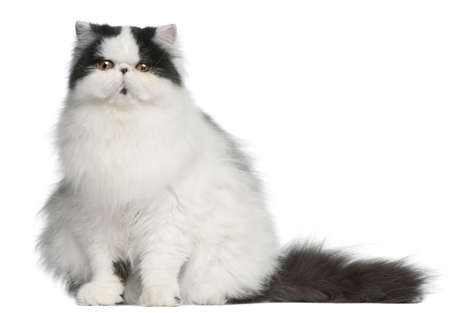 persian cat: Persian Harlequin cat, 6 months old, sitting in front of white background Stock Photo