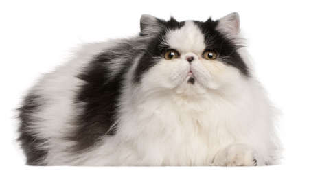 persian cat: Persian Harlequin cat, 6 months old, lying in front of white background