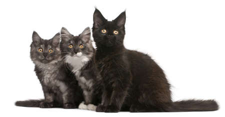 maine coon: Maine Coon chatons, 12 semaines, assis devant fond blanc