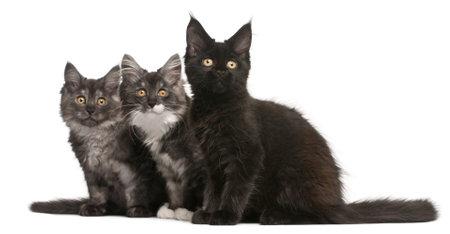 maine coon: Maine Coon Kitten, 12 Wochen alt, sitzt in front of white background Lizenzfreie Bilder