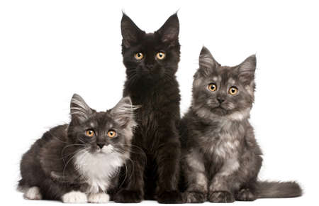Maine Coon Kittens, 12 weeks old, sitting in front of white background photo