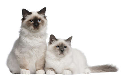 birman kitten: Birman Kittens, 4 months old, sitting in front of white background Stock Photo