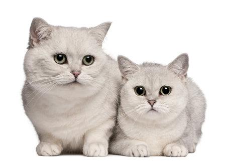 kotów: Kot brytyjski krótkowÅ'osy kotów, 1 do 6 lat starych, z przodu biaÅ'e tÅ'o Zdjęcie Seryjne