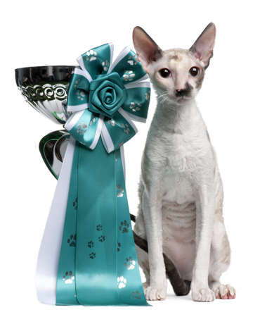 Cornish Rex cat, 7 months old, sitting next to prize in front of white background Stock Photo - 8211094