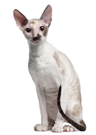 Cornish Rex cat, 7 months old, sitting in front of white background Stock Photo - 8210396