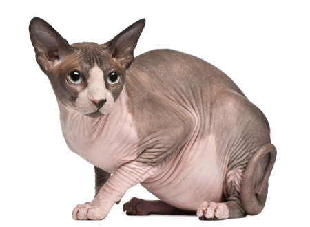 18: Sphynx cat, 18 months old, sitting in front of white background