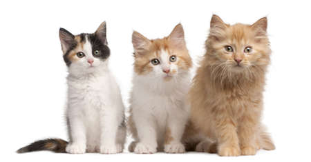 three animals: European Shorthair kittens, 10 weeks old, sitting in front of white background