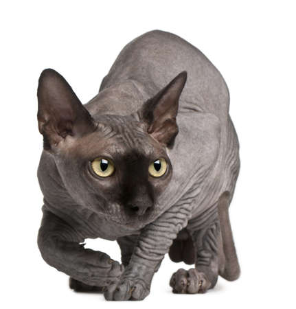 crouching: Sphynx cat, 11 months old, crouching in front of white background Stock Photo