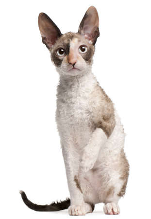 Cornish Rex kitten, 4 months old, sitting in front of white background Stock Photo - 8210338