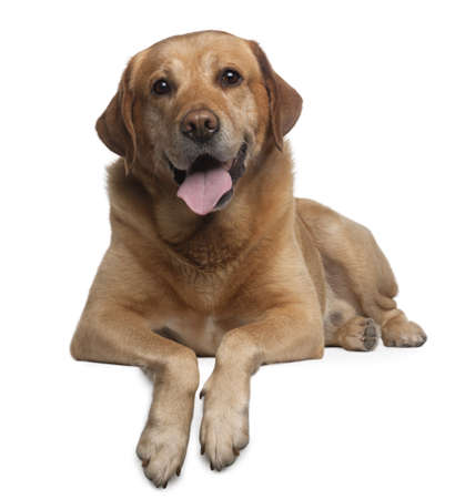 brown labrador: Labrador Retriever, 9 years old, lying in front of white background Stock Photo