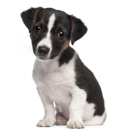 pups: Jack Russell Terrier puppy, 2 months old, sitting in front of white background