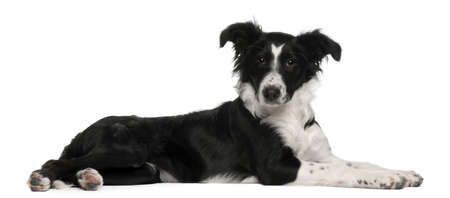 lying on side: Border Collie puppy, 5 months old, lying in front of white background