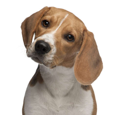 beagle puppy: Beagle puppy, 6 months old, in front of white background Stock Photo