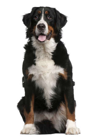 bernese mountain dog: Bernese Mountain Dog, 16 months old, sitting in front of white background Stock Photo