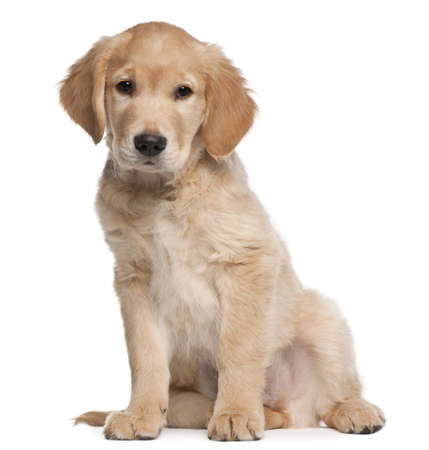 Golden Retriever puppy, 2 months old, sitting in front of white background