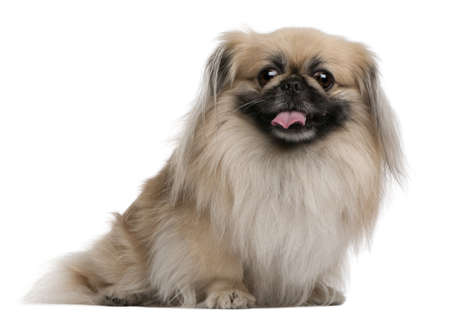 Pekingese, 7 years old, sitting in front of white background Stock Photo - 8210454