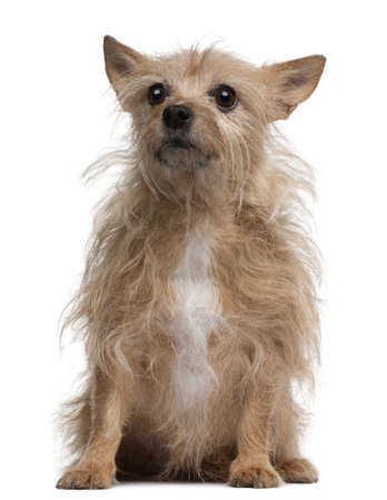 11 years: Chihuahua, 11 years old, sitting in front of white background