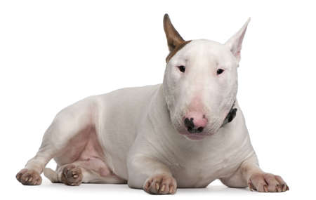 9 months: Bull Terrier, 9 months old, lying in front of white background