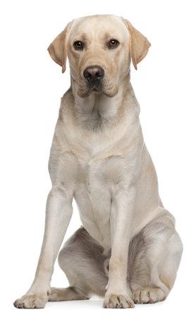 14: Labrador Retriever, 14 meses de edad, sentado frente a fondo blanco