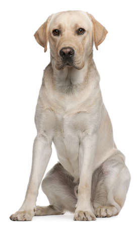 brown labrador: Labrador Retriever, 14 months old, sitting in front of white background