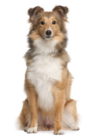 Shetland Sheepdog, 9 months old, sitting in front of white background photo