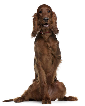 setter: Irish Setter puppy, 5 months old, sitting in front of white background