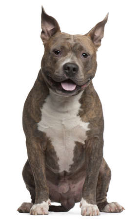 american staffordshire terrier: American Staffordshire Terrier, 25 months old, sitting in front of white background Stock Photo