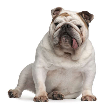 English bulldog, 5 years old, sitting in front of white background photo