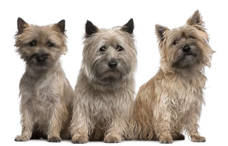 cairn: Cairn Terriers, 12 and 2 years old, sitting in front of white background